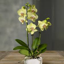 Orchid Plants Orchids Are The Queens Of House Plants Geat Flowers Long Lasting
