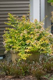 Decorative Shrubs 47 Best Shrubs For Containers Images On Pinterest Proven Winners