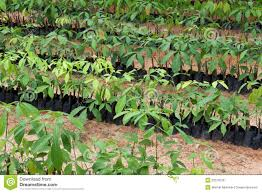seedlings of rubber trees royalty free stock photos image 22519218