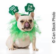 st patrick u0027s day dog st patricks day english bulldog