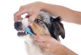 australian shepherd how much how many teeth do dogs have u0026 how to care for them u2013 nextgen dog