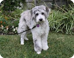 australian shepherd and poodle margot adopted dog newport beach ca poodle miniature