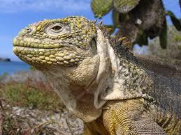 iguana island animals galapagos land iguana galapagos islands ecuador
