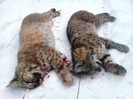 Montana wildlife images Montana wildlife officials cut bobcat quotas outdoors jpg