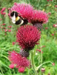 Girls Favourite Flowers - best 25 thistle flower ideas on pinterest edith holden british