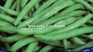 fast facts growing blue lake pole beans youtube