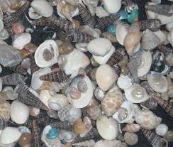 where to buy seashells bulk seashells wholesale seashells craft shell