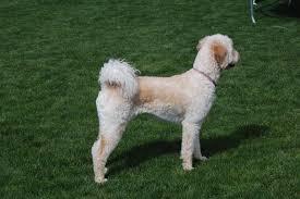 goldendoodle puppy treats goldendoodle puppy treats power puppies teddybear