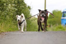 Blind Dog And His Guide Dog Blind Jack Russell And His U0027guide Dog U0027 Best Friend Search For New Home