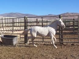 mustang adoptions ca n z burro herds of northern california