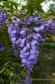 wisteria sinensis australian bush flower 92 best wisteria images on pinterest wisteria flowers and gardens