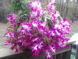 bloom in november thanksgiving cactus schlumbergera