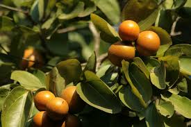 Ackee Fruit Tree - 10 exotic fruits you didn u0027t know can kill you toptenz net