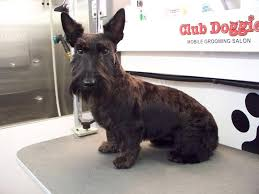 scottish yerrier haircuts club doggie mobile grooming salon client testimonials