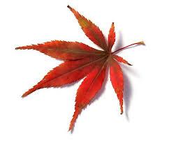 maple tree symbolism 78 best maple leaf images on pinterest tattoo ideas arm tattoos
