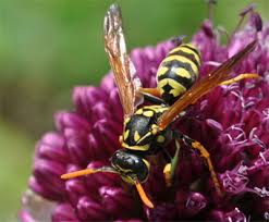 Bee Deterrent For Patio All About Yellow Jackets Bees Wasps U0026 Hornets Gardener U0027s Supply