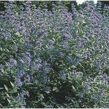 Bluebeard Flower - shop 3 25 gallon dark knight caryopteris l4670 at lowes com