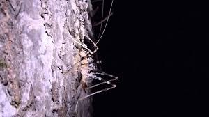 camel cricket feeds on oak sap at night マダラカマドウマ が夜の