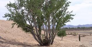 asla 2012 professional awards ironwood and saguaro transplant
