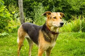 australian shepherd or golden retriever german shepherd golden retriever mix a k a golden shepherd