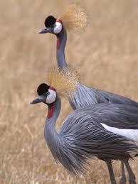 file grey crowned crane tanzania jpg wikimedia commons
