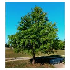 canaan fir canaan fir abies balsamea u0027canaan u0027 potted plant