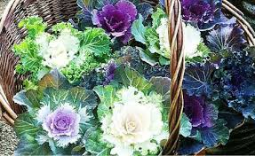 ornamental kale not great for queensland times