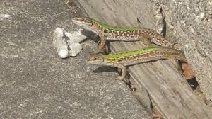 100 what do backyard lizards eat new england colin donihue
