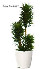 dracaena compacta ornamental plant small dracaena compacta web