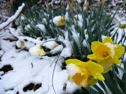 spring snow daffodil yellow flowers flowers free nature