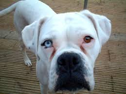 boxer dog in heaven blue eyed boxer puppies photo happy dog heaven