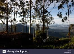 Eucalyptus Trees Eucalyptus Trees In Devikulam Near Munnar Kerala Stock Photo