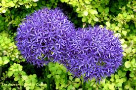 flower garden pic hd greatindex net beautiful purple tulips