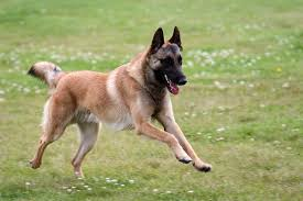 belgian shepherd or malinois malinois looking into nutrition food all about dogs