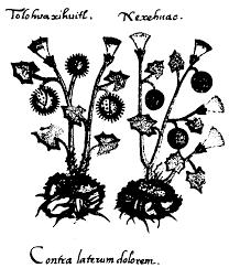 black bean aboriginal use of native plants lycaeum u003e leda u003e the plant kingdom and hallucinogens by richard