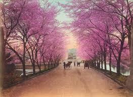 we love cherry u2013 tree cherries cherry blossoms and cherry tree