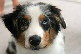 movies with australian shepherds 19 rare breeds and birthmarks that put these dogs on another level