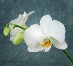 White Orchid Flower Free Photo Orchid White Orchid Flower White Free Image On