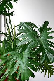 Tropical Plant Diseases - house photo tropical plants identifying house plants identifying