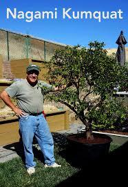 move citrus trees indoors winter citrus tree care
