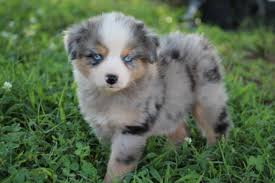 australian shepherd gray the lovable miniature australian shepherd canineplanet net