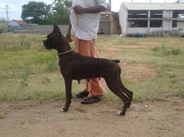 boxer dog price boxer price in india boxer puppy for sale in coimbatore india