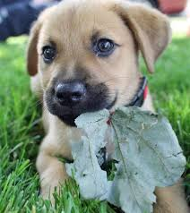 belgian shepherd labrador retriever mix labrador retriever german shepherd mix want more follow http