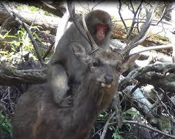 se masturbe dans la cuisine des macaques femelles observées en de se masturber sur le
