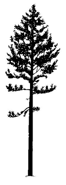 pine tree silhouette clipart 32