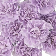 purple carnations light purple carnation flowers