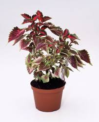 colorful houseplants that aren t hard to grow coleus houseplant jpg