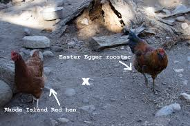 buy easter egger chickens how to before they the homegrown gourmet