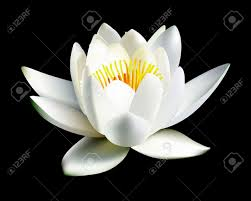 water lily images u0026 stock pictures royalty free water lily photos