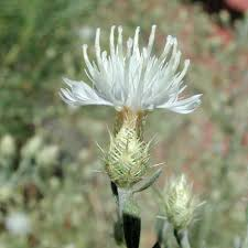 russian native plants diffuse knapweed u2014 northern arizona invasive plants